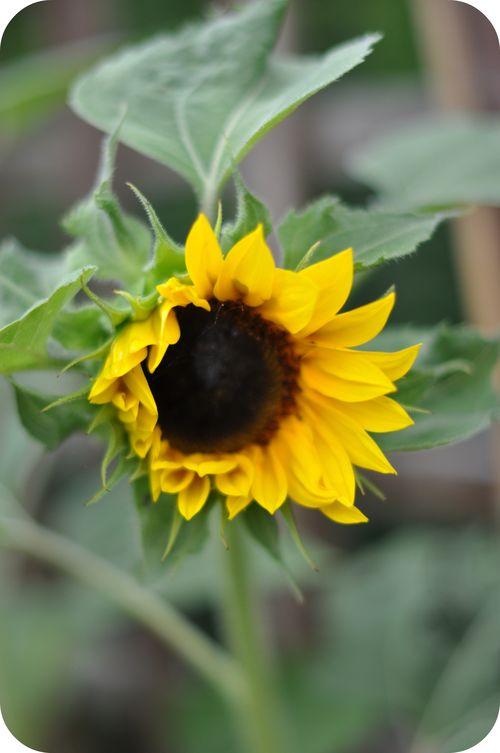 Opensunflower