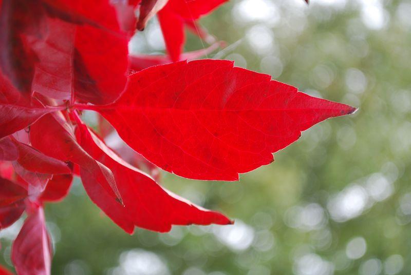 Scarlett autumn leaves