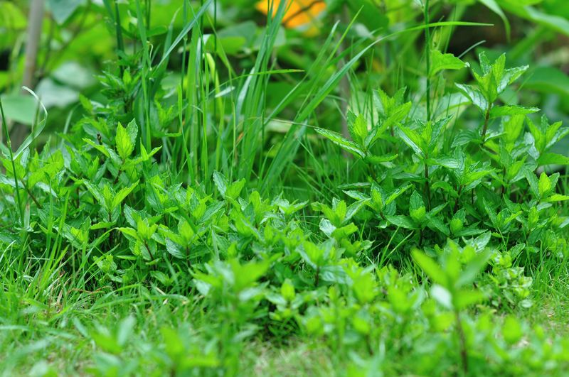 Mint growing in grass