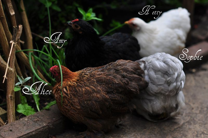 Bantam chickens-their names