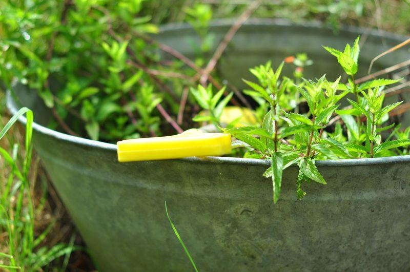 Yellow spade in tub