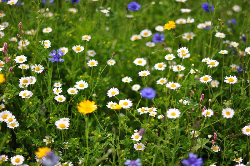 Wild Flower Meadow Wilsey